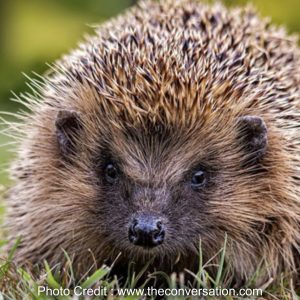 Welcome hedgehogs to your garden